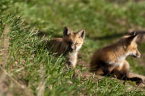 First Light (F1 Online) - Two red fox kits