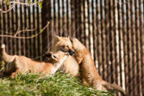 First Light (F1 Online) - Red Fox Kits
