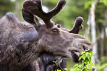 First Light (F1 Online) - Adult bull moose eating leaves in spring, Gaspesie National Park, Quebec, Canada