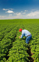 First Light (F1 Online) - 55 year old farmer checks the condition of his mid-growth potato field near Somerset, Manitoba, Canada