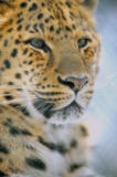 First Light (F1 Online) - Amur Leopard, Falle, Leopard