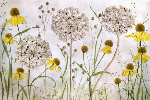 Foto-Kunstdruck: Mandy Disher, Alliums and heleniums
