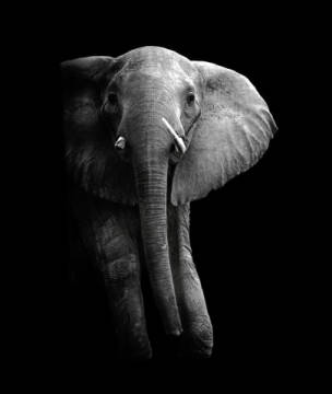 Elephant! of artist WildPhotoArt as framed image