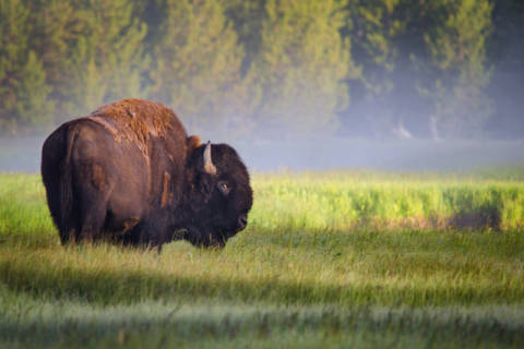 Foto-Kunstdruck: Sandipan Biswas, Bison in Morning Light