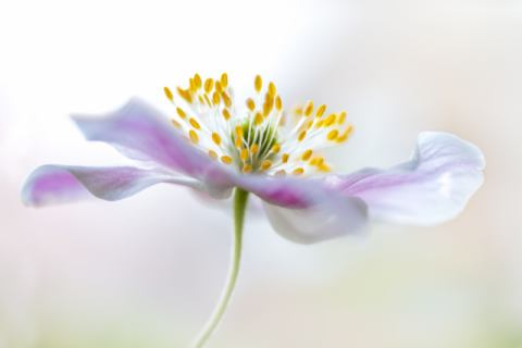 Foto-Kunstdruck: Mandy Disher, Wood Anemone