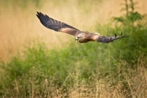 Milan Zygmunt - Red Kite