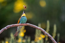 Ciro De Simone - The bee-eater and the bee