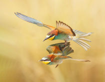 Shlomo Waldmann - Bee-eaters - couple flying together
