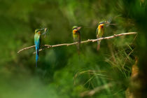 Hua Zhu - Little bee eater