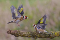 Ray Cooper - Dancing Goldfinch