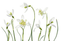 Mandy Disher - Spring Snowdrops