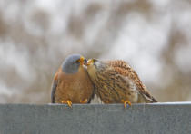 Shlomo Waldmann - Lesser Kestrel , Kiss..