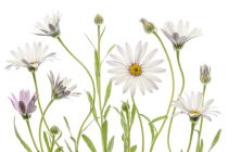 Mandy Disher - Cape Daisies