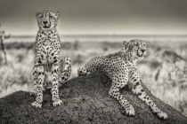 Henrike Scheid - Two Cheetahs watching out