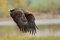 Milan Zygmunt - White-tailed Eagle