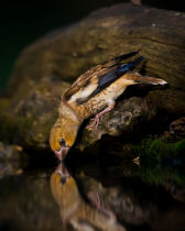 Young Feng - Hawfinch Drinking