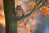 Milan Zygmunt - Long-Eared Owl