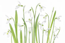 Mandy Disher - First Snowdrops