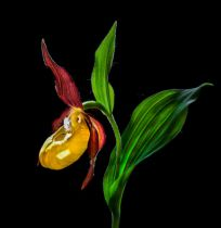 Nora  de Angelli - Macro Close-Up Photograph of The Lady's Slipper Orchid ('Venus' Shoes') Flower In the Wild © N