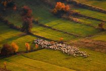 Cristian Lee - Sheep herd at sunset