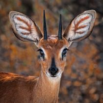 Mathilde Guillemot - Steenbok, one of the smallest antelope in the world