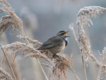 Piotr Fras - Bluethroat