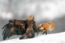 Yves Adams - Golden eagle and Red fox