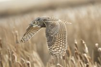 Peter Stahl - Great Horned owl