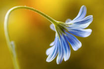 Mandy Disher - Cape Daisy