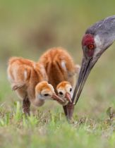 Alfred Forns - Sandhill Crane with Chicks
