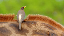 kahi - Yellow-billed Oxpecker