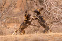 Ted Taylor - Wild Dogs at Play