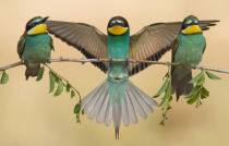 eliran sagie - Bee-eaters trio