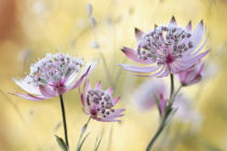 Mandy Disher - Astrantia
