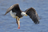 Jun Zuo - Bald Eagle Catching a Big Fish