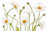 Mandy Disher - Ox eye Daisies