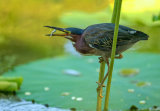 David Hua - The Green Heron