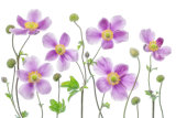 Mandy Disher - Anemone Japonica