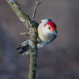 Darlene Hewson - Male Red Bellied Woodpecker