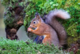 Ray Cooper - Red Squirrel