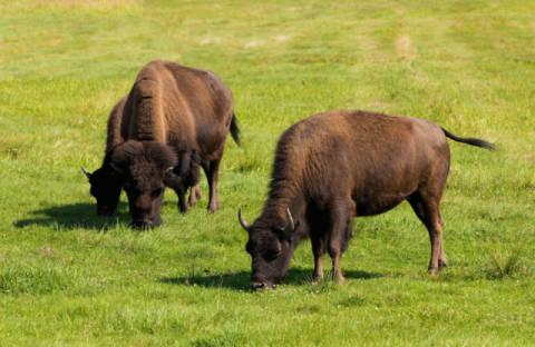 Bison Büffel
