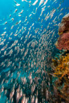 stephan kerkhofs - Glassfish and the aquatic life in the Red Sea.