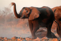 Nico Smit - African elephants covered in dust