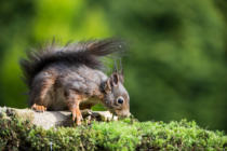 Klaus Heimbach - Squirrel sciurus vulgaris picture 19