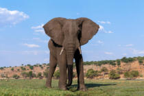 Zden?k Mal� - African Elephant in Chobe National Park