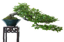 Bernd Schmidt - Beech as bonsai tree