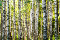 Valery Vvoennyy - White birch trees trunks in forest in summer