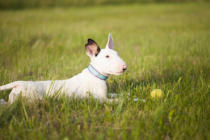 Erika Eros - Bull terrier puppy playing in the grass