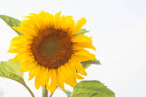 Punsayaporn Thaveekul - Beautiful sunflower with natural background