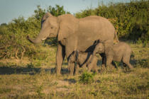 Nick Dale - Mother elephant with two babies beside bushes